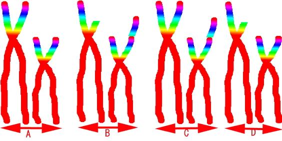 染色体が転座したイメージ図解。