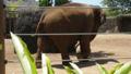 ボールを蹴るアジア象