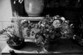 [花][風景][モノクロ]鉢植え