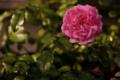 [花] 鉢植え