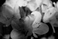 [花][モノクロ] 鉢植え