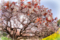 吉高のオオザクラ