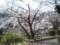 080328 安城 公園の さくら (1) 13:54