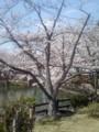 080328 安城 公園の さくら (2) 13:55