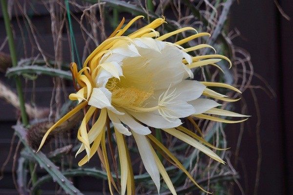 よるの 女王 (Selenicereus macdonaldiae)