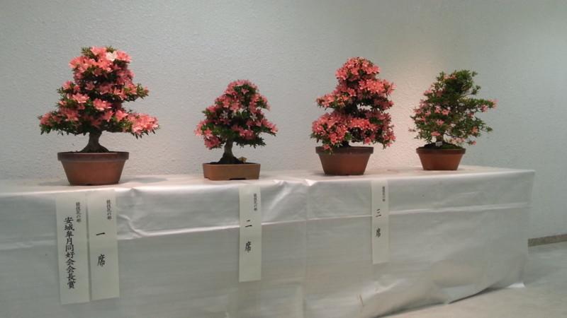 20160525 さつき展 (1) 競技花の部一席 あんじょうさつき同好会会長賞