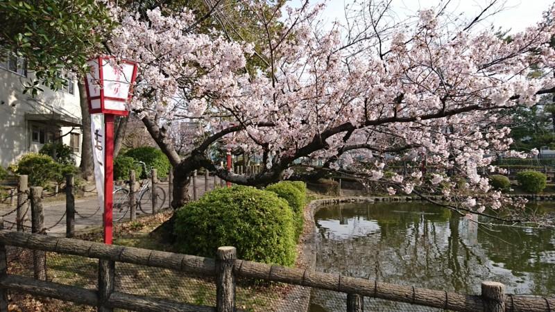 2017.4.5 あんじょう公園のさくら (2)