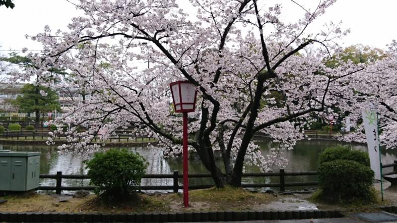 2017.4.7 あんじょう公園のさくら (1)