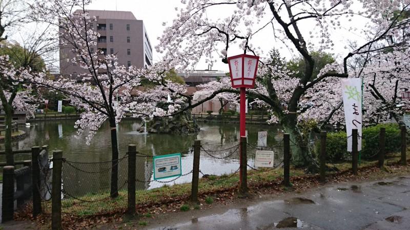 2017.4.7 あんじょう公園のさくら (2)