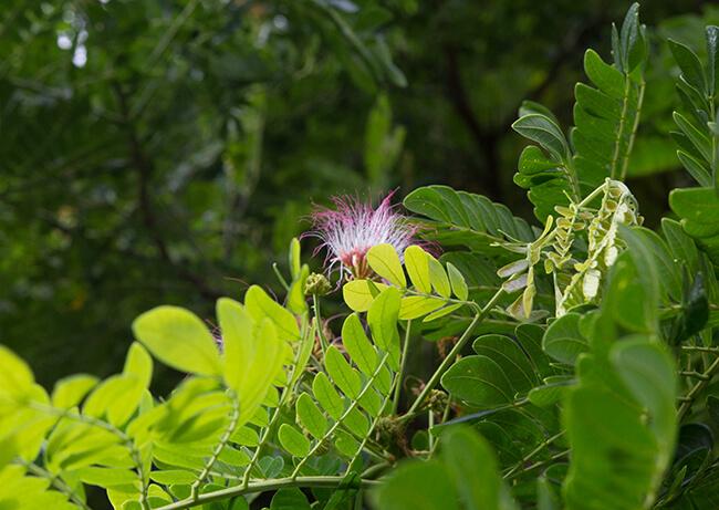 モンキーポッドモンキーポッドのピンクの花
