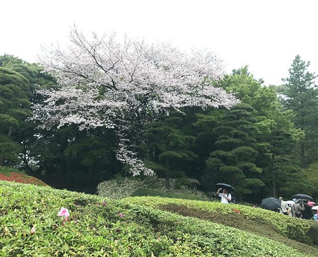 皇居・山下通り付近の桜は満開