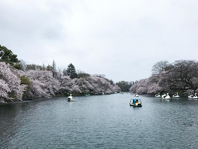桜とボートたちと