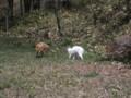 [釧路町][動物] キタキツネ VS 猫