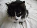 [猫] にらまれた