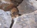 [美瑛][十勝岳][動物] 山頂に住むノネズミ(種類不明)@十勝岳山頂