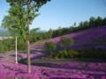 [滝上] 芝桜@滝上公園 その1