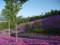 芝桜@滝上公園 その1