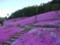 芝桜@滝上公園 その3