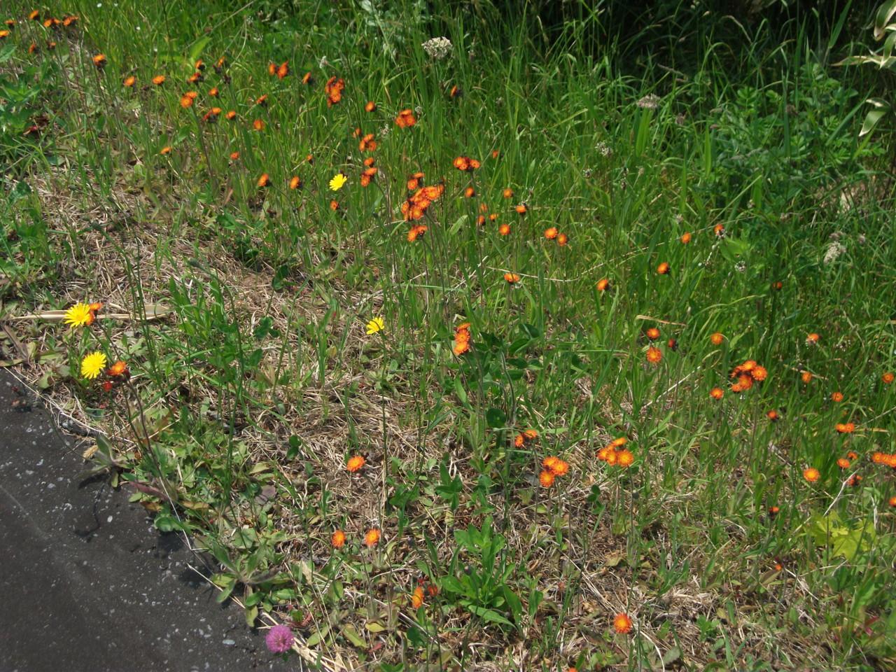 路傍の花たち(コウリンタンポポとタンポポもどき?)