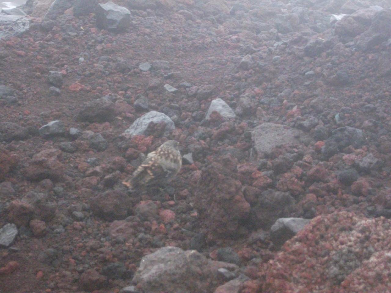 8合目山小屋 謎の野鳥(イワヒバリorカヤクグリ)その2