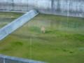 [新得][動物] ダム放水路で水を飲むエゾシカ君