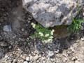 [斜里][羅臼岳] チシマクモグサ