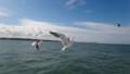 [羽幌][動物] 船を追いかけて飛行するウミネコさん