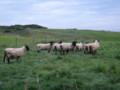 [羽幌][焼尻島][動物] めん羊さん