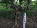 [羽幌][焼尻島] 奇木「般若の木」