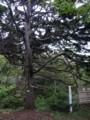 [羽幌][焼尻島] 古木「鶯谷の姥松」