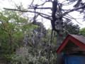 [羽幌][焼尻島] 大木「神居の松」(の無惨な姿)