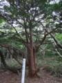[羽幌][焼尻島] 銘木「見返りのオンコ」