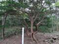 [羽幌][焼尻島] 奇木「竪琴の木」