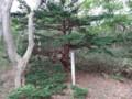[羽幌][焼尻島] 珍木「木精の舞」