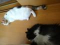 [猫] シンクロナイズド涼しい場所でぐったり