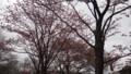 [松前] 蝦夷山桜7分咲