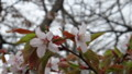 [松前] 蝦夷山桜接写