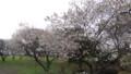 [松前] 咲いているのはやっぱり冬桜だけ
