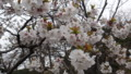 [松前] 冬桜接写