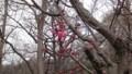 [札幌] 梅も咲き始め