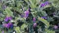 [礼文][8時間コース] 礼文島の花たち・1
