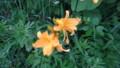 [礼文][8時間コース] 礼文島の花たち・2