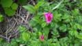 [礼文][8時間コース] 礼文島の花たち・12
