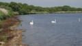 [苫小牧][動物] ウトナイ湖の白鳥たち