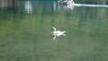 [洞爺湖][動物] またしても白鳥