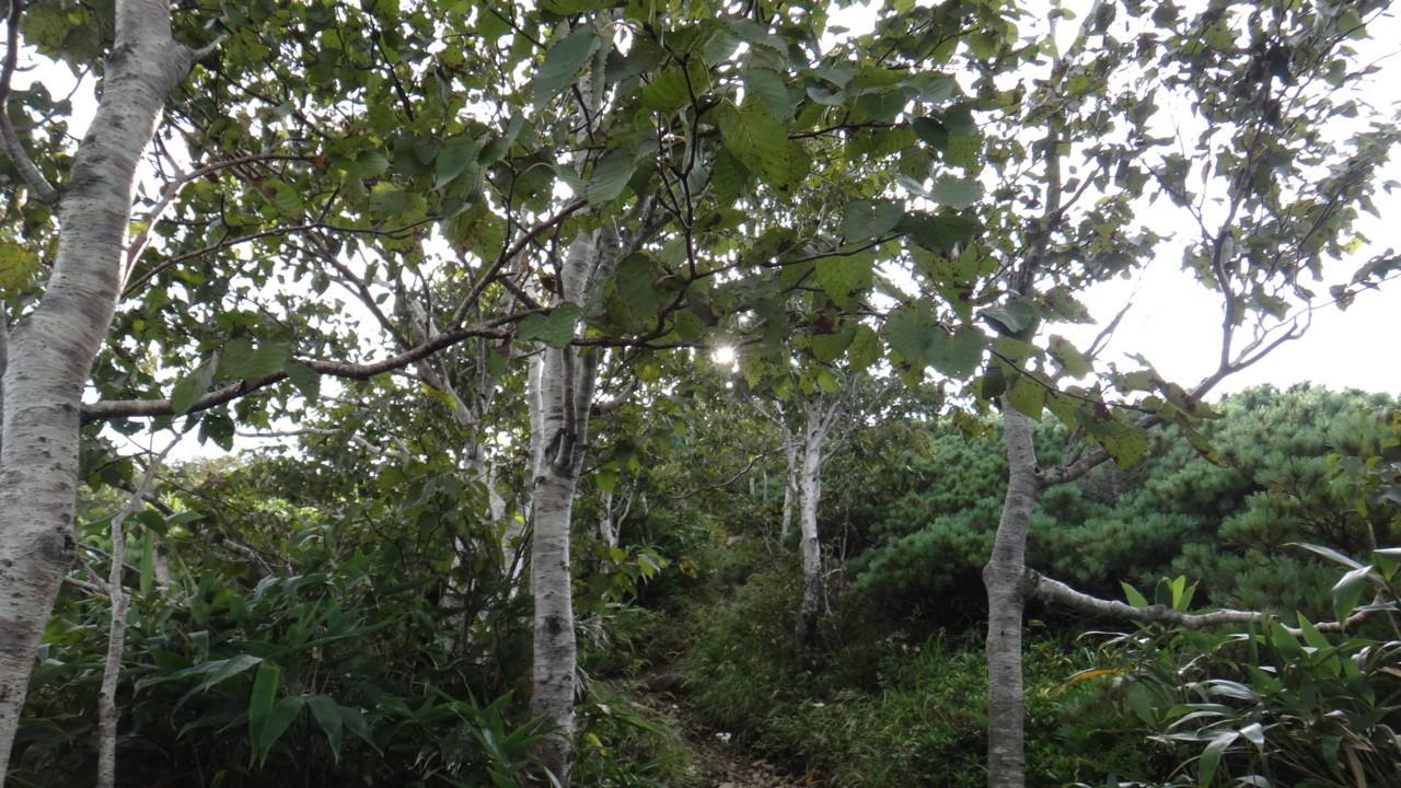ハイマツ帯に変わる(注:ここは標高370mです)