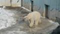 [釧路][動物] ホッキョクグマ ツヨシ