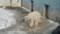 ホッキョクグマ ツヨシ