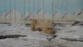 [釧路][動物] ホッキョクグマ ユキオ