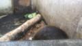 [釧路][動物] 爆睡中のアメリカビーバー